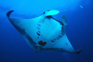 Manta ray in the Sea of Cortez...and on local menus in Mexico.